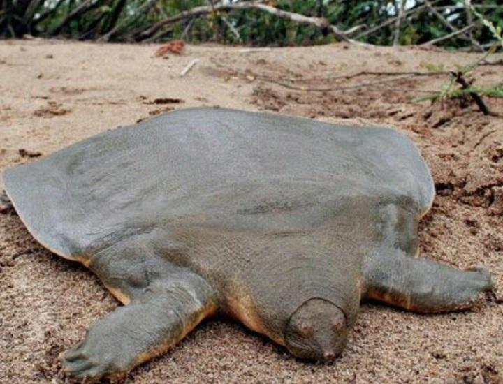 Tartaruga Dal Guscio Molle.Tartaruga Esotica Dal Guscio Molle Trovata In Lago Italiano