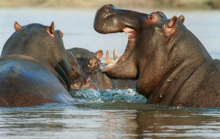 ingoiata viva da un ippopotamo