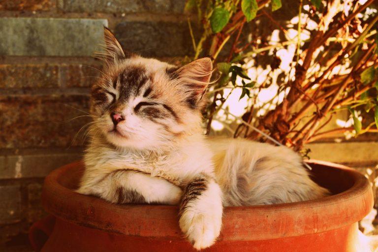 """Ricerca: """"I gatti per animali domestici allungano la vita"""""""