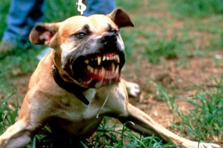 Pitbull attaccano anziano, muore dopo 6 giorni