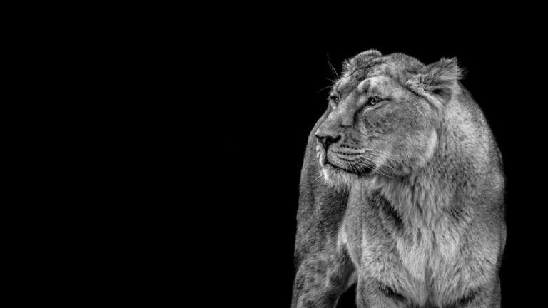 zoo rimuove artigli leonessa