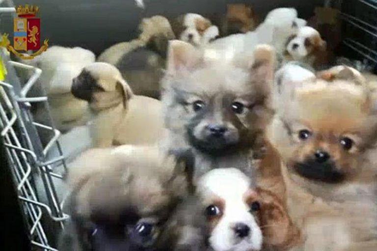 Scoperto traffico di cuccioli di cane dalla Slovacchia