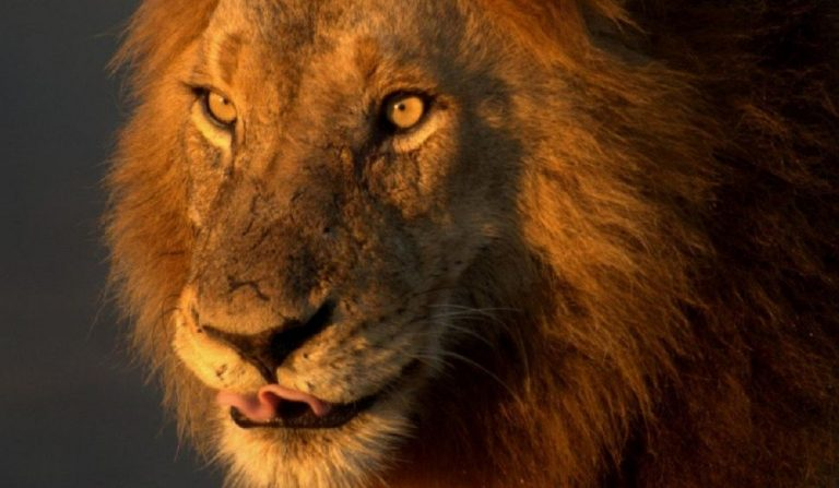 sbranato leone casa