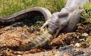 australia pitone divora coccodrillo
