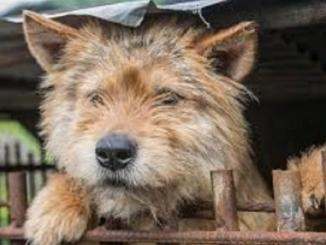 cane corea sud