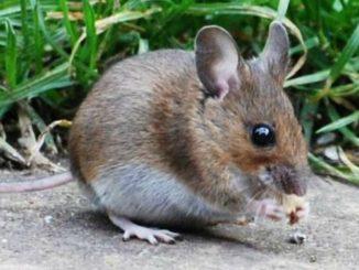 come allontanare i topi