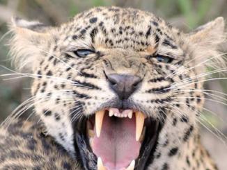 leopardo killer