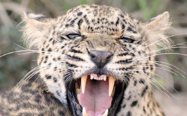 Allarme in Sudafrica: 14 leoni fuggiti dal Kruger Park