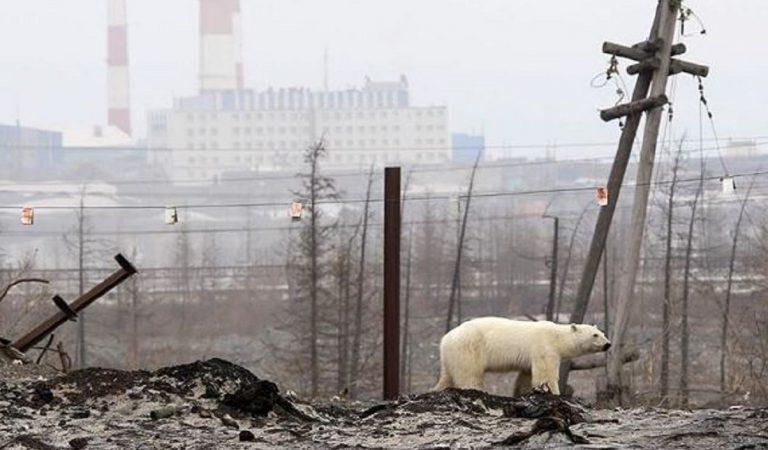 orso polare siberia