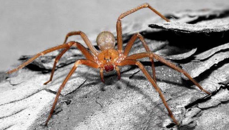 puntura di ragno