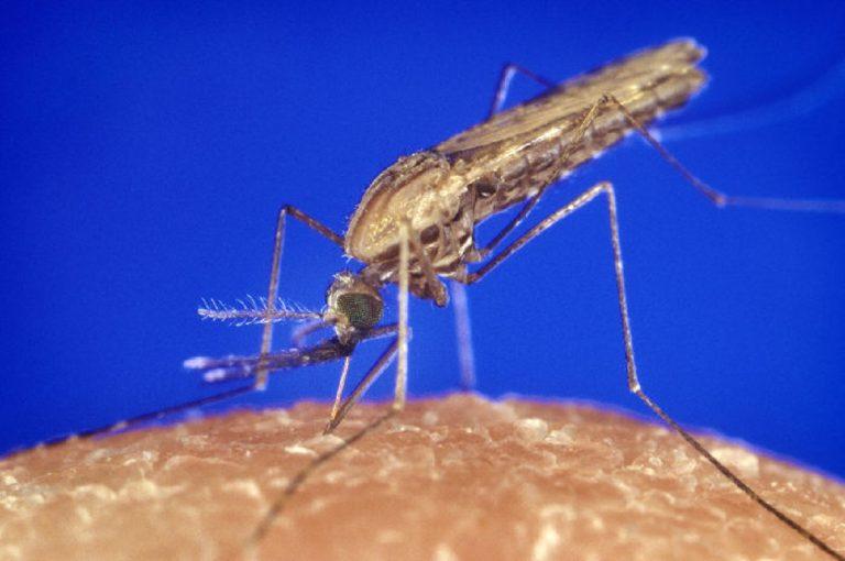 zanzare anofele