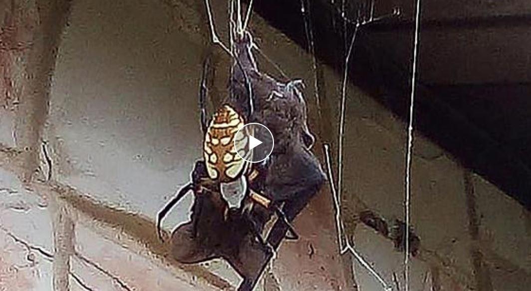 ragno mangia pipistrello