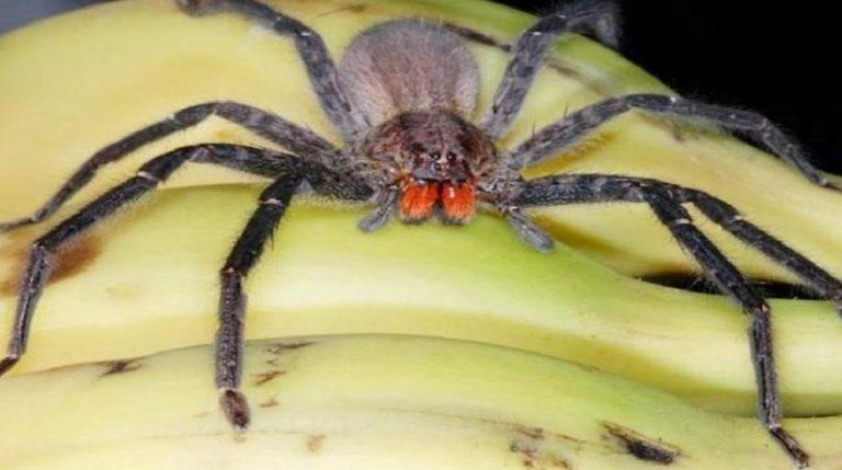 texas ragno delle banane