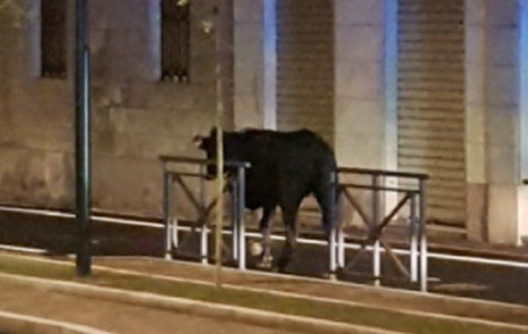 Mucca vaga per la strada a Novara, uccisa dai Carabinieri: è polemica