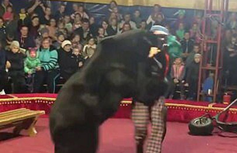 orso-circo-russia