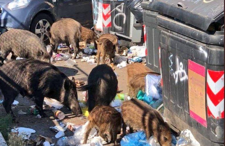 emergenza cinghiali roma