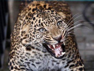 bimbo ucciso leopardo