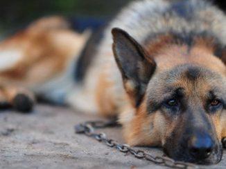 coronavirus nel cane: i sintomi