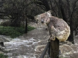 koala rischio alluvioni