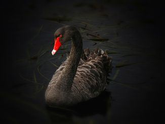 black swan 122983 1920