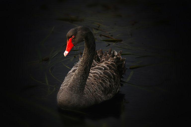 black swan 122983 1920 768x512