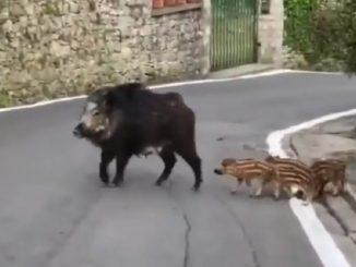 Cinghiali Bergamo bufala
