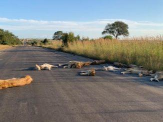 Africa. senza safari i leoni del parco riprendono le strade