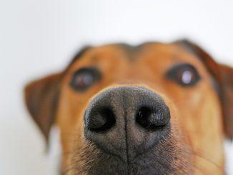 Cani fiutano coronavirus