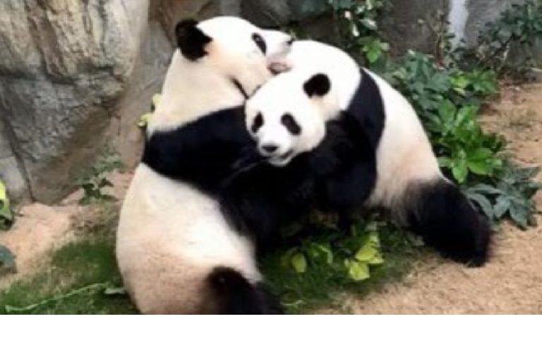 Coppia di panda zoo Hong Kong