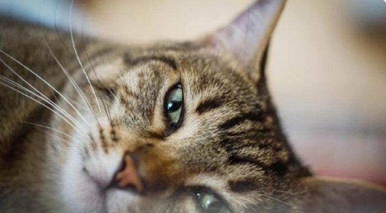 Coronavirus gatti positivi