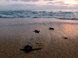 Coronavirus, in India migliaia di tartarughe tornano a deporre indisturbate