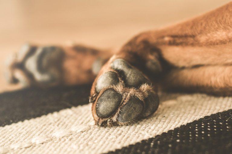 Coronavirus, come pulire le zampe degli animali domestici: i consigli dei veterinari