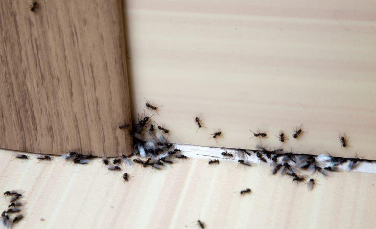 Come eliminare le formiche.
