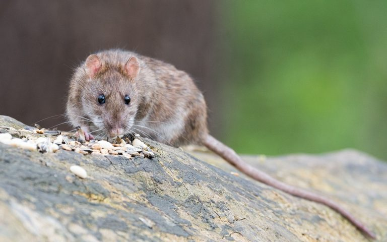 Ratti Usa cannibali