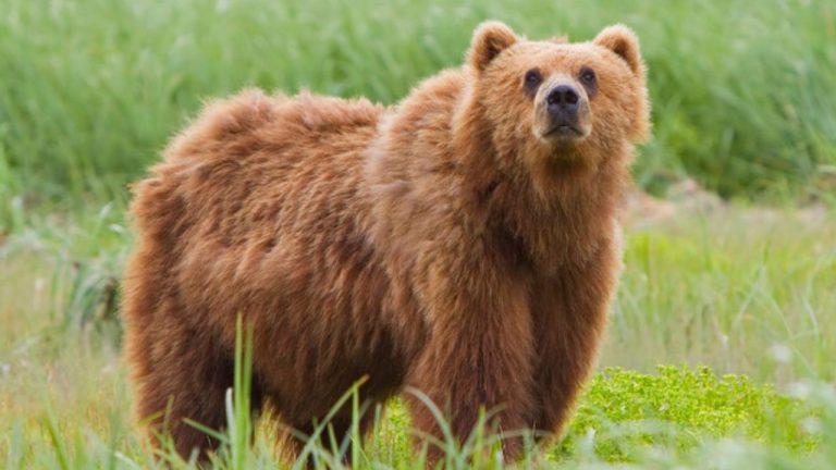 caccia orso