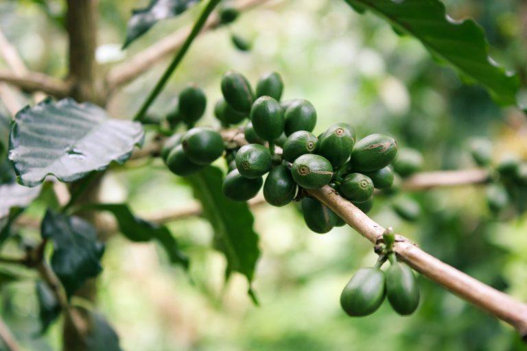 Caffè verde: utilizzi e proprietà dimagranti