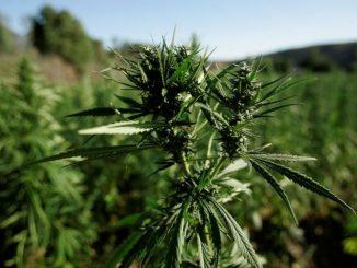 coronavirus-terapie-cannabis