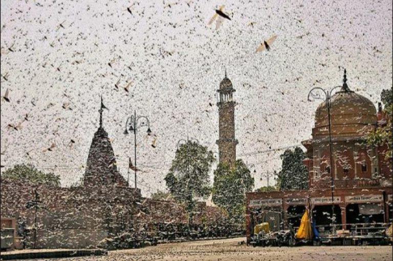 Locuste invadono india