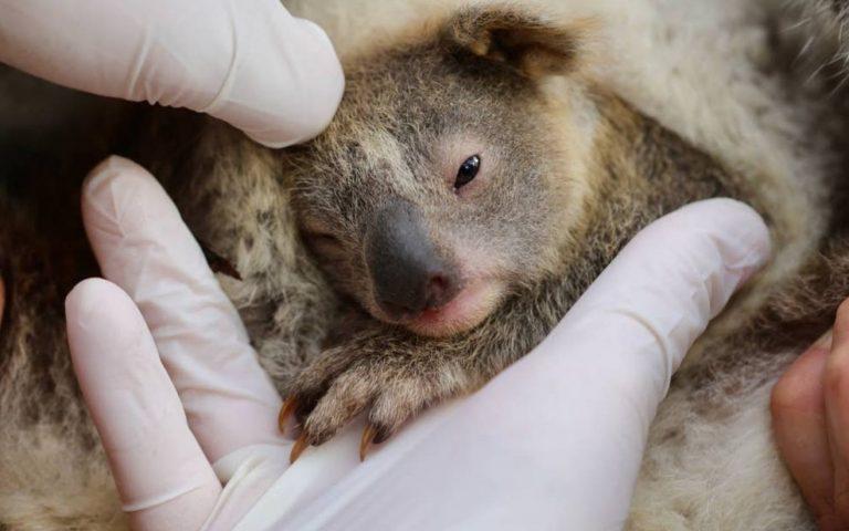 nato primo koala australia