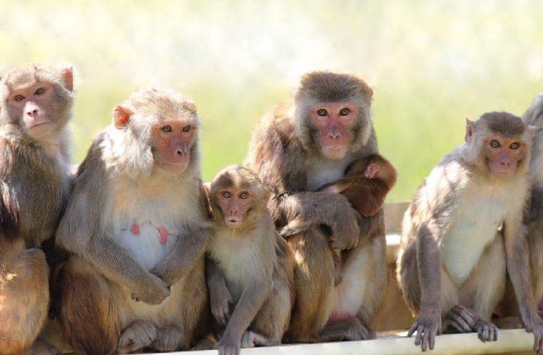 scimmie rubano test covid
