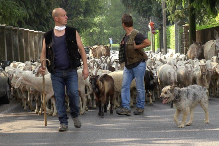 transumanza Lecco 3000 pecore