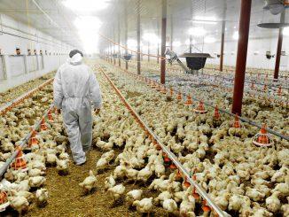 Animal Equality sugli allevamenti intensivi di polli: nuova inchiesta
