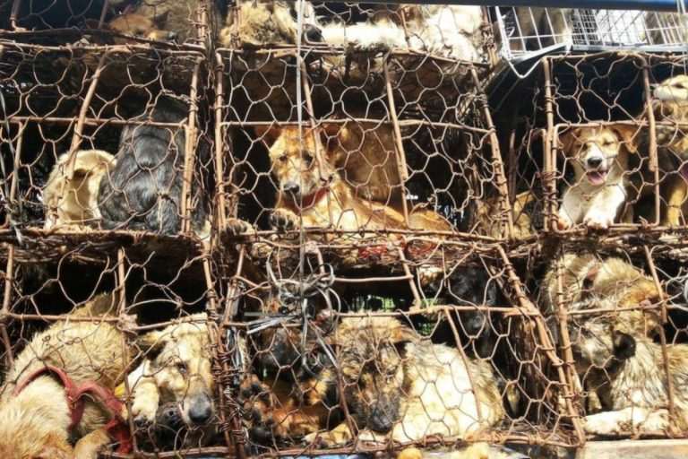Cina, vietato mangiare cani: ok definitivo prima del Festival di Yulin
