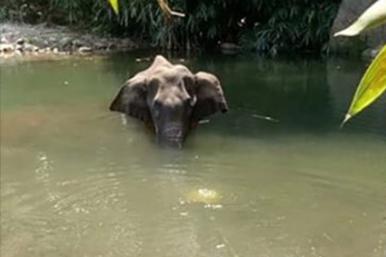 elefante ucciso ananas arresto