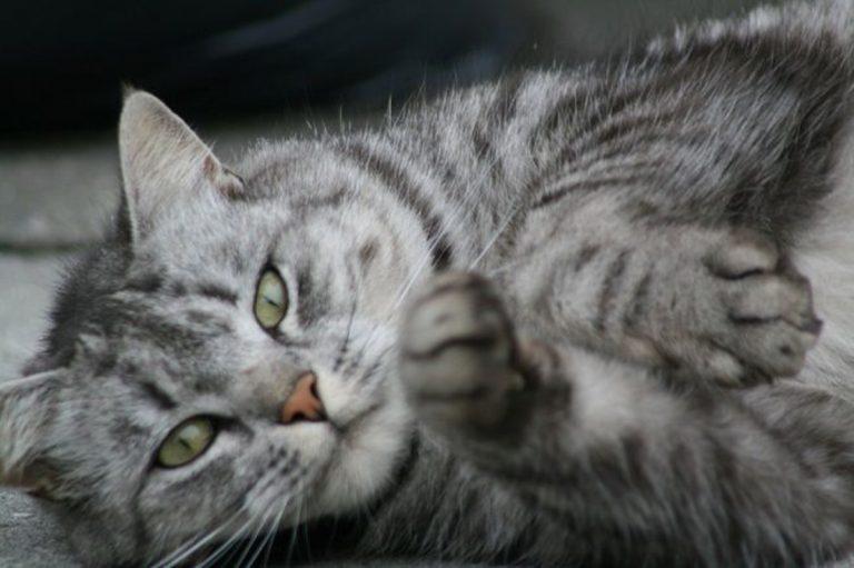 gatto virus pipistrello