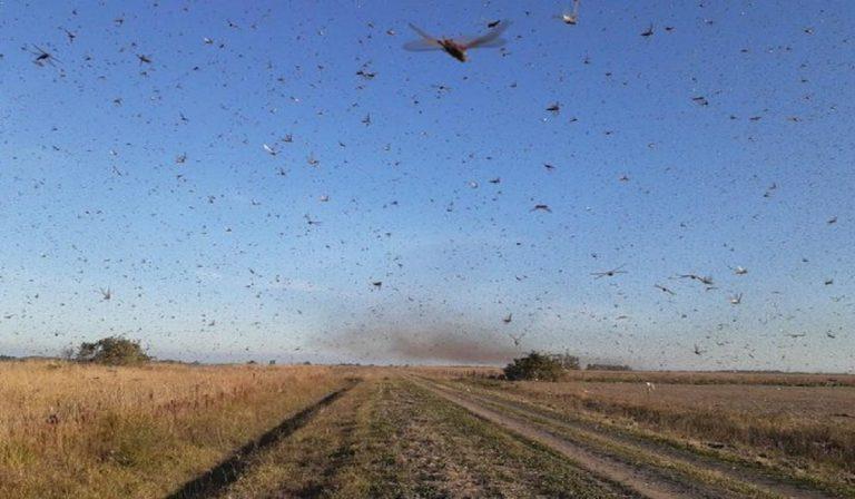Mega invasione di locuste in Argentina