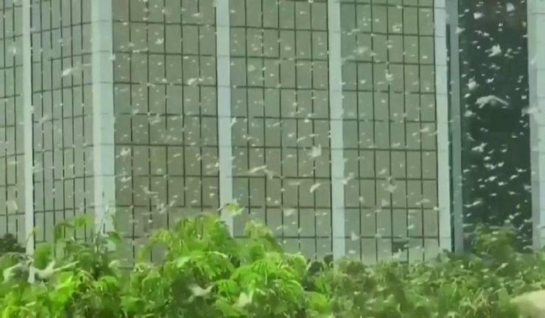 invasione locuste india
