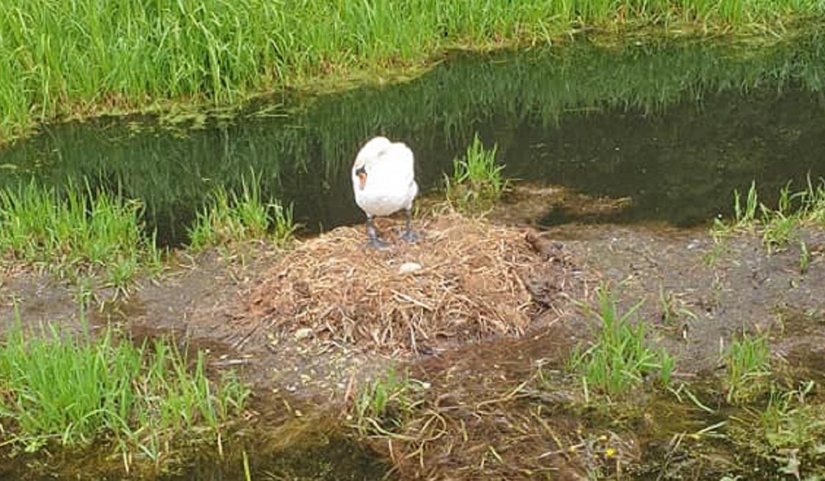 Femmina di cigno cova l'unico uovo