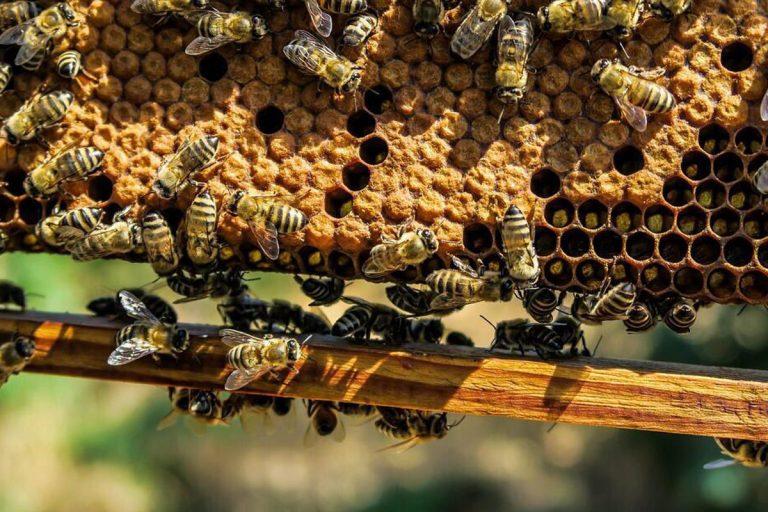 miele cinese senza api