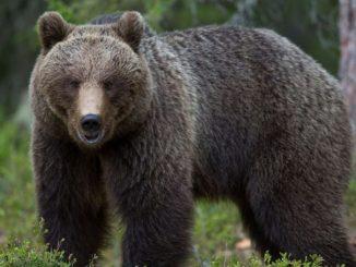 Orso del Trentino da abbattere. Il ministro Costa dice no